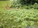 Giant Hogweed Patch