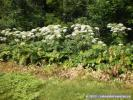 Hogweed in flower